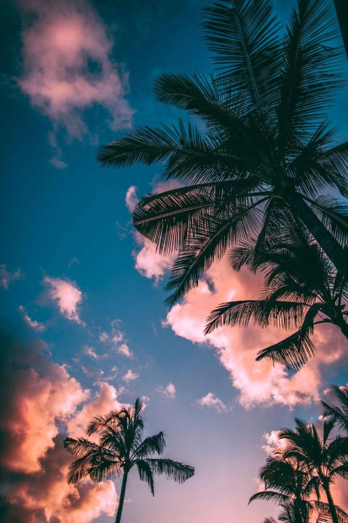 summer cute backgrounds tall palm trees photographed from below at sunset pink clouds in the sky
