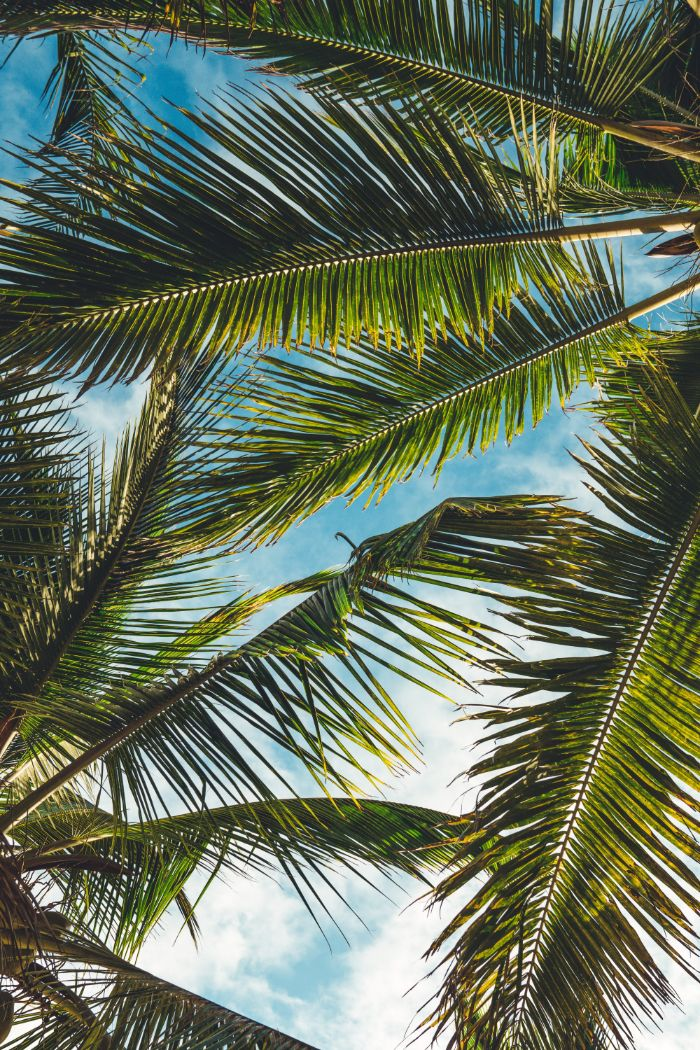 blue sky through tall palm trees beach desktop backgrounds photographed from below