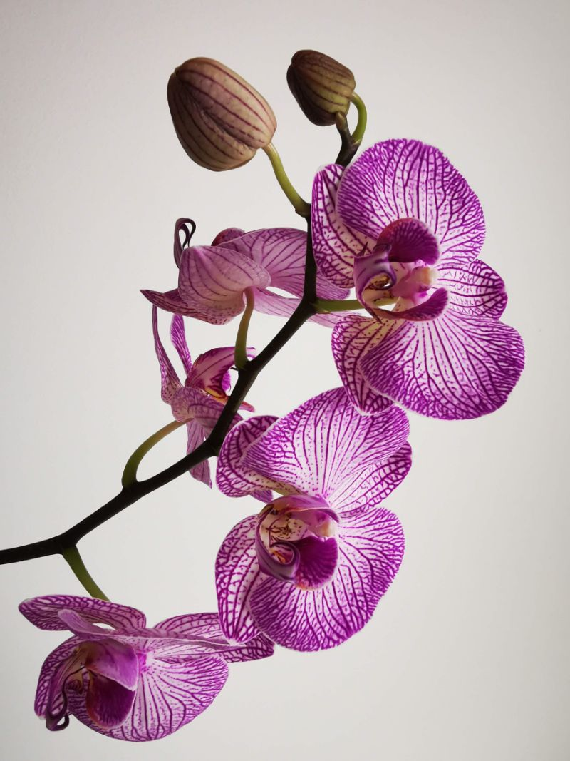 close up photo how to take care of orchids purple orchid