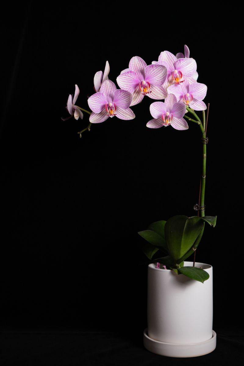 how long do orchids live purple orchid white pot