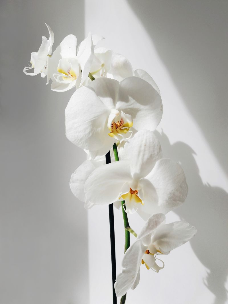 how to take care of orchids white orchid
