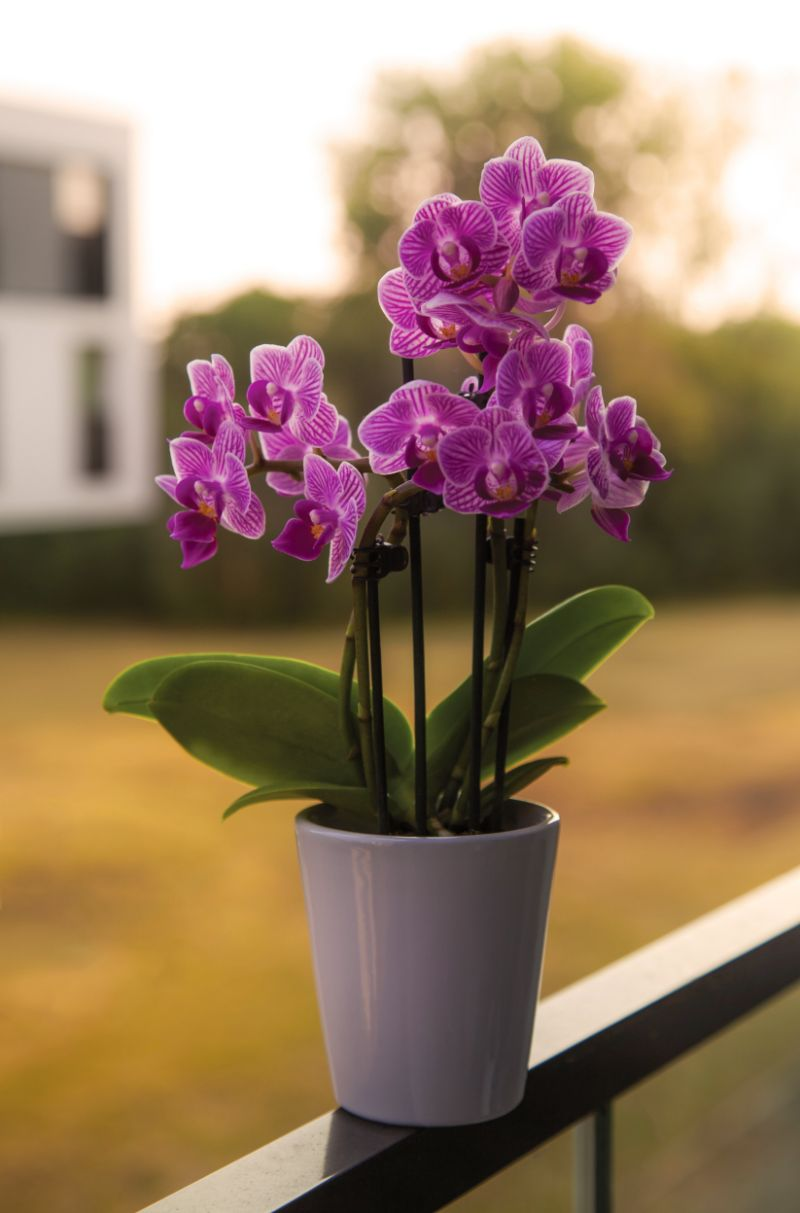 purple orchid how to care for orchids gray pot
