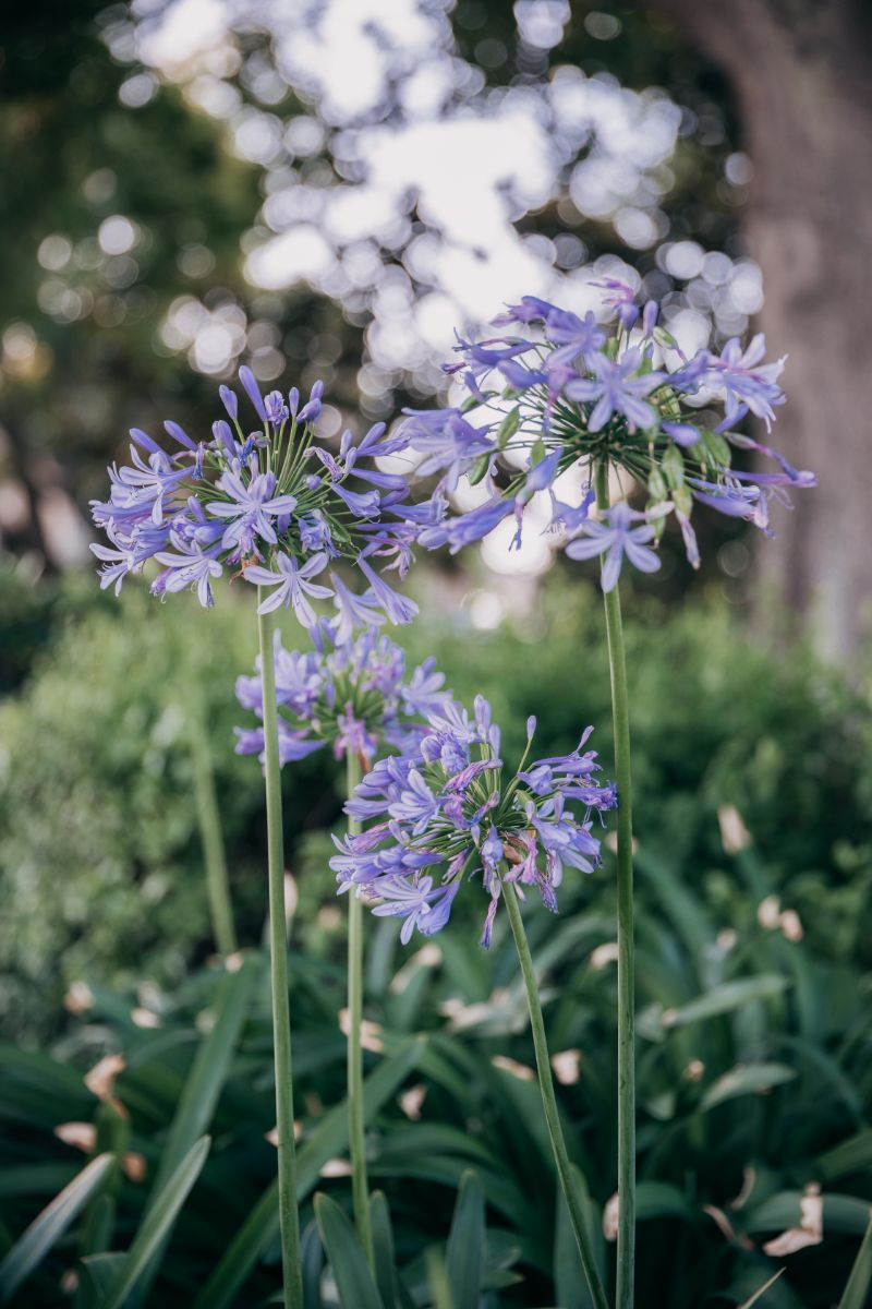 agapanthus flower low maintenance plants in purple