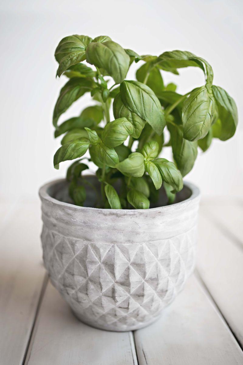 basil in ceramic pot how to prune basil