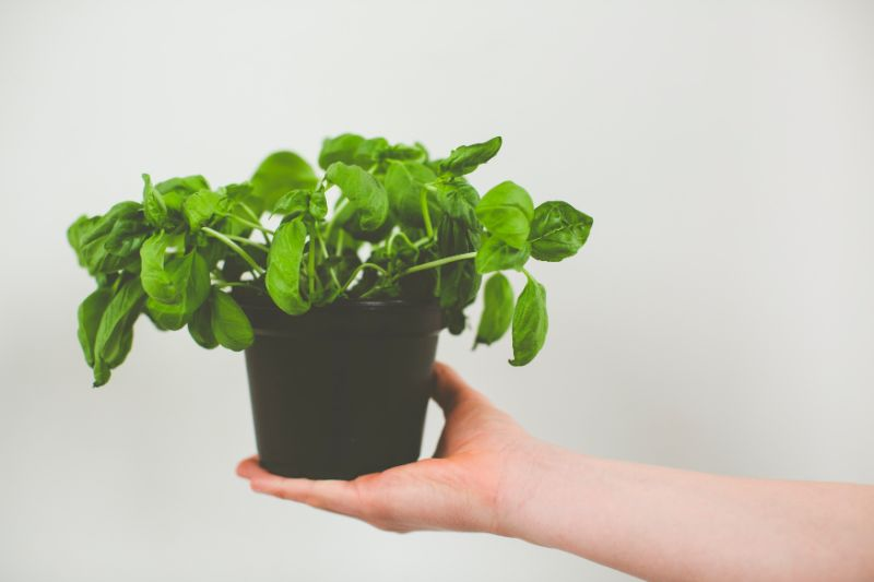 basil plant care small black pot with basil
