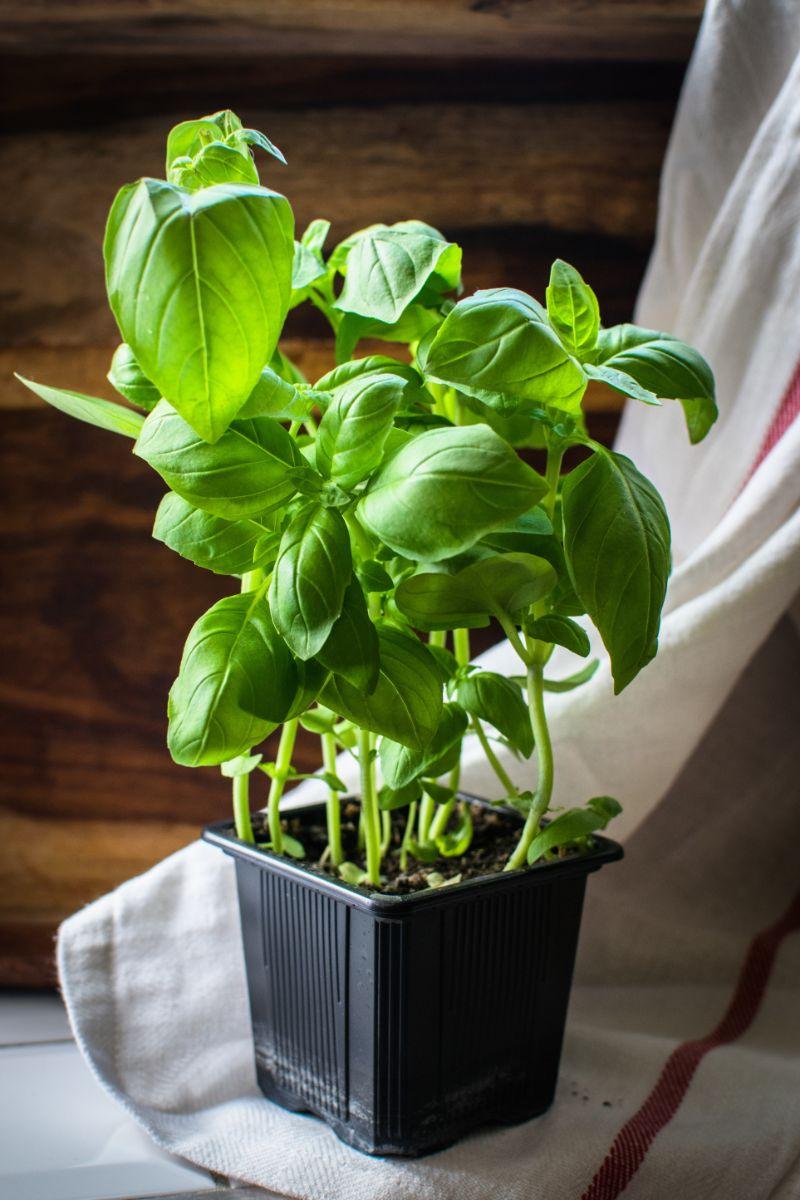 black pot with plant basil plant care