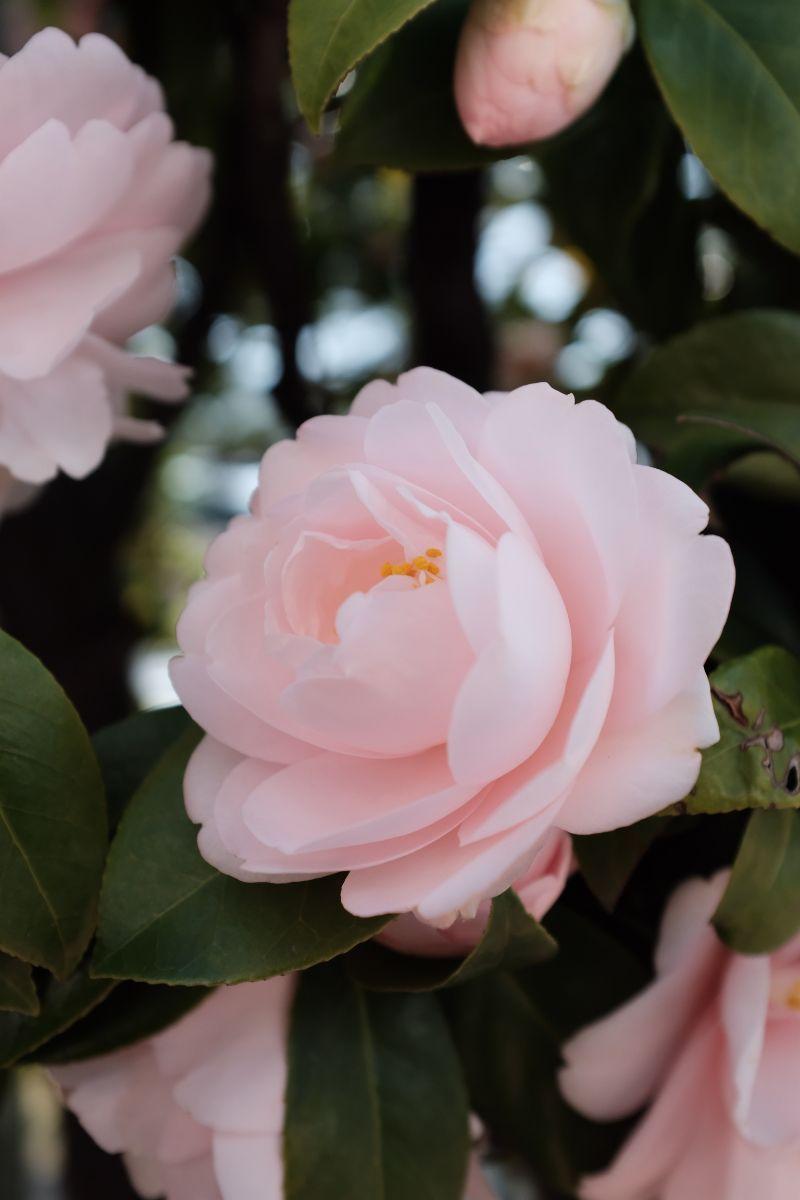 camellia pink flower low maintenance plants