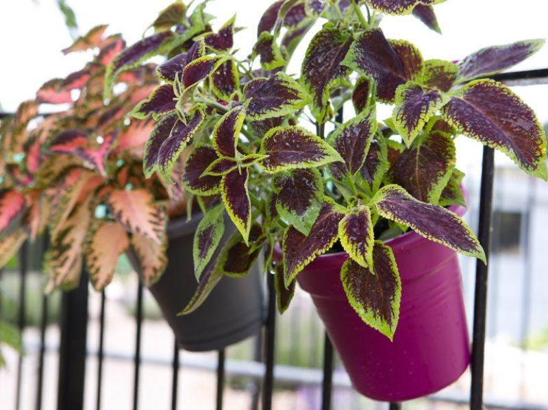 coleus flower low maintenance plants in two pots