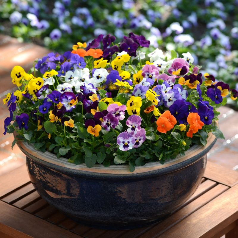 colorful violas in pot types of houseplants