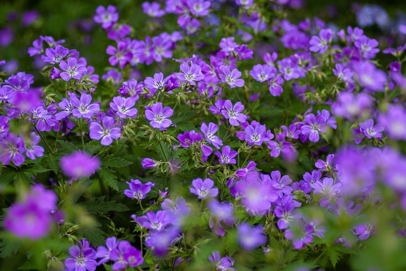 garden plants little purple flowers in the garden