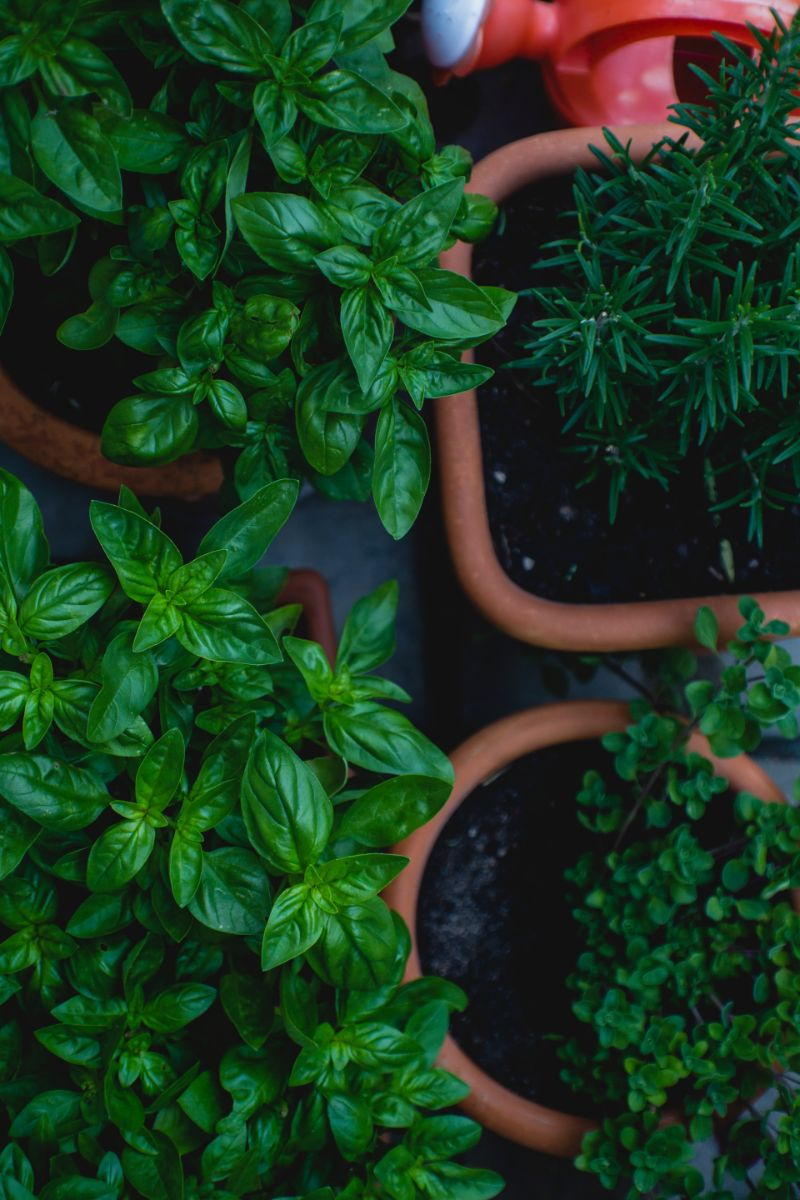 herbs in pots how to grow basil