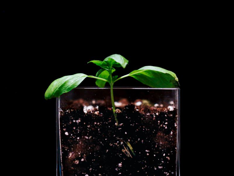 how to grow basil in small vase with soil