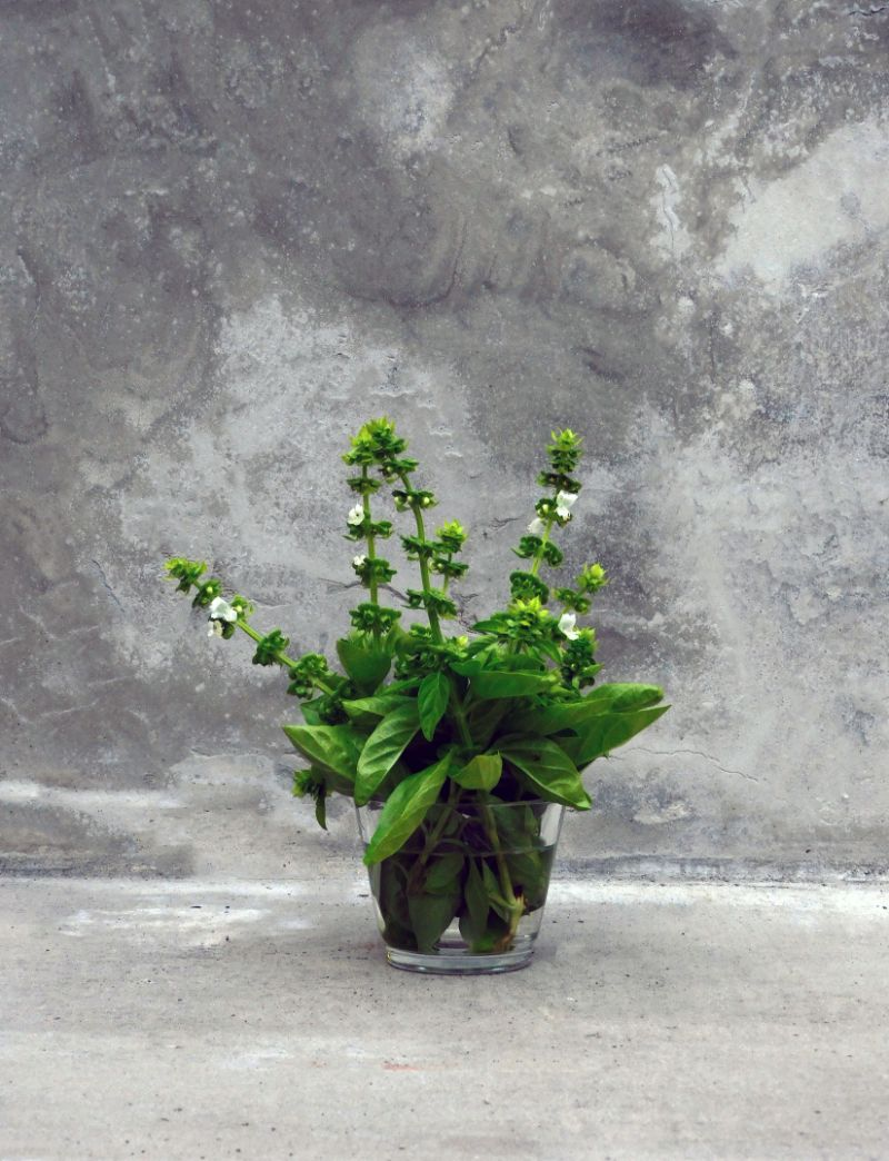 how to harvest basil placed in vase