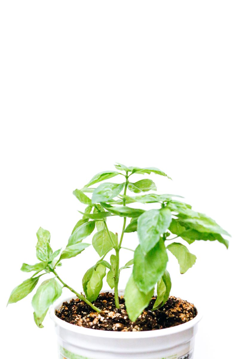 how to harvest basil planted in pot