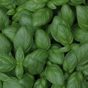 How to harvest basil - learn how to take care of this precious herb
