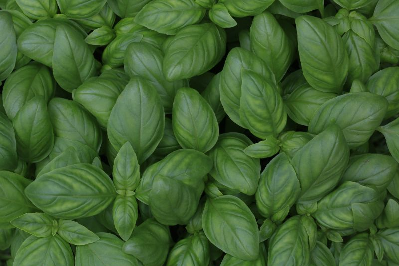how to prune basil close up photo