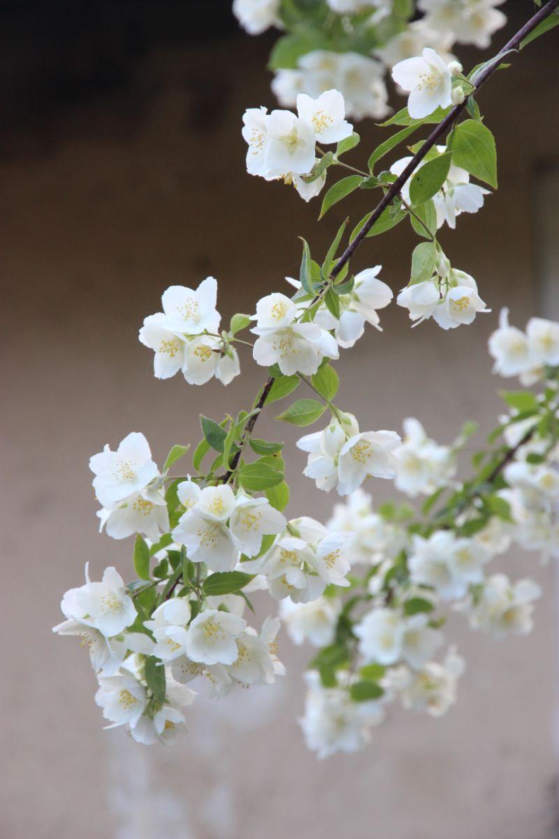 jasmine flower benefits close up of white flowers