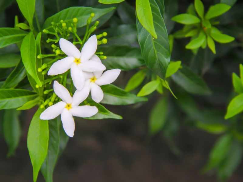 jasmine flower plant with white blooms