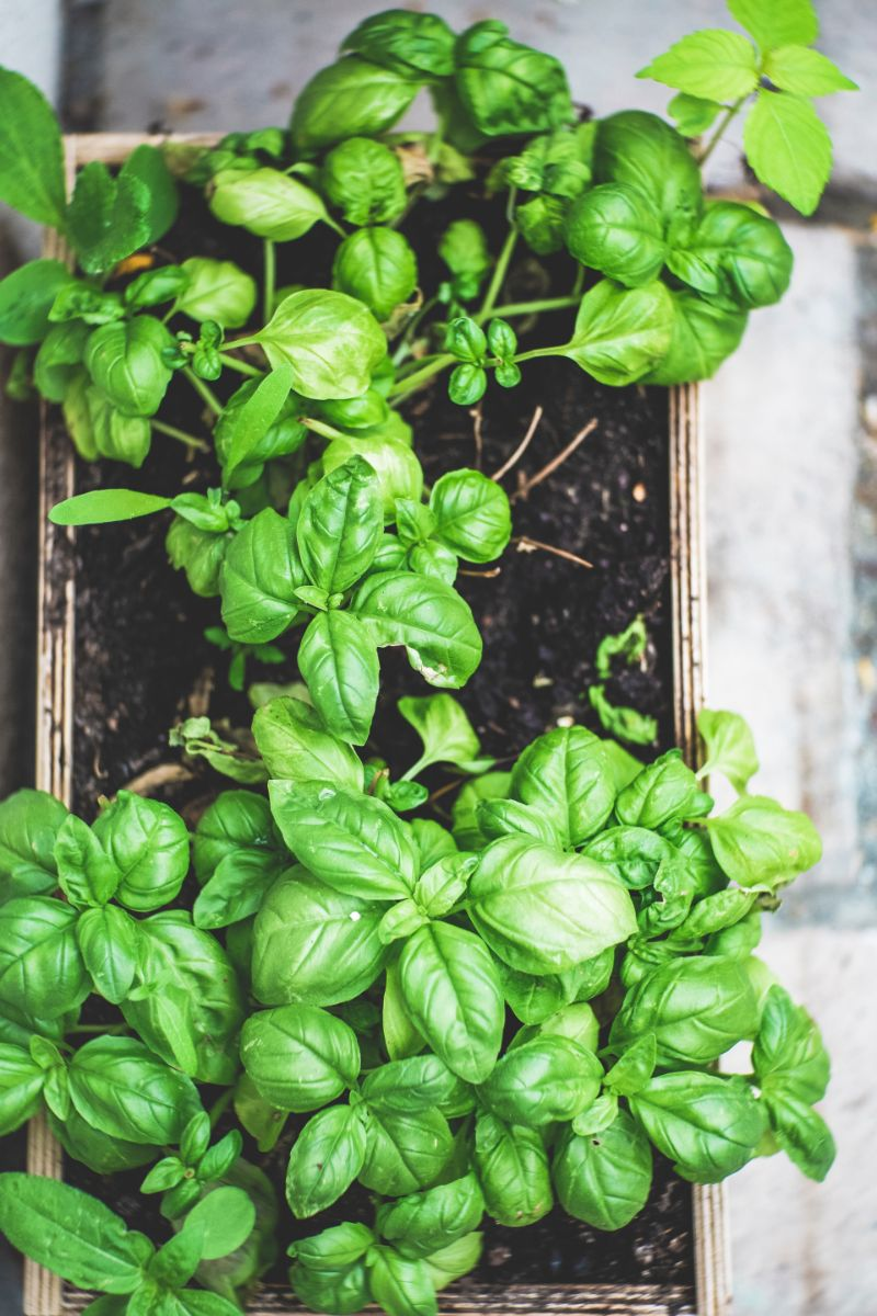 large pot with basil plant care