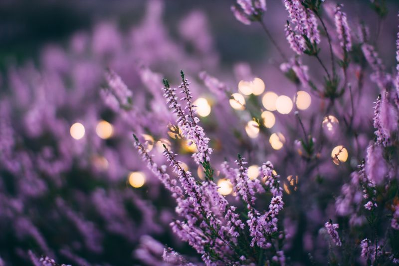 lavender with lights how to get rid of aphids