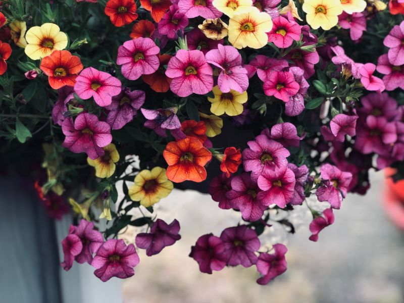 low maintenance outdoor plants petunia
