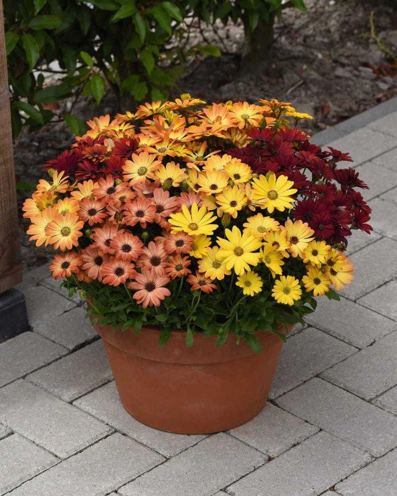osteospermum perennial flowers full sun in different colors