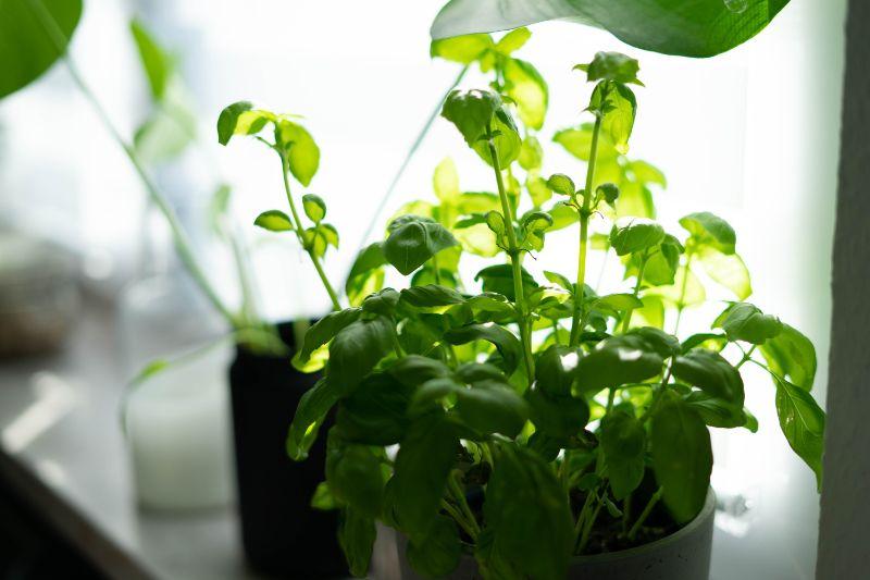 pot with basil how to grow basil