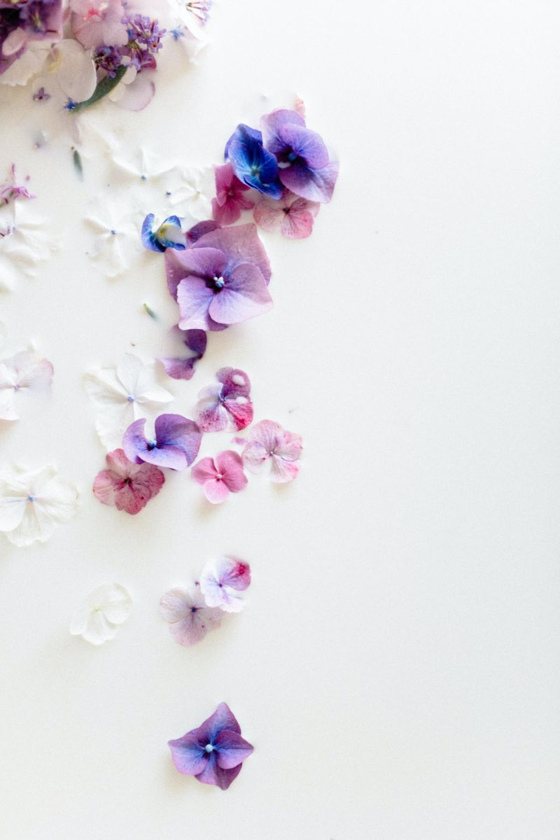 purple jasmine flower plant on white background