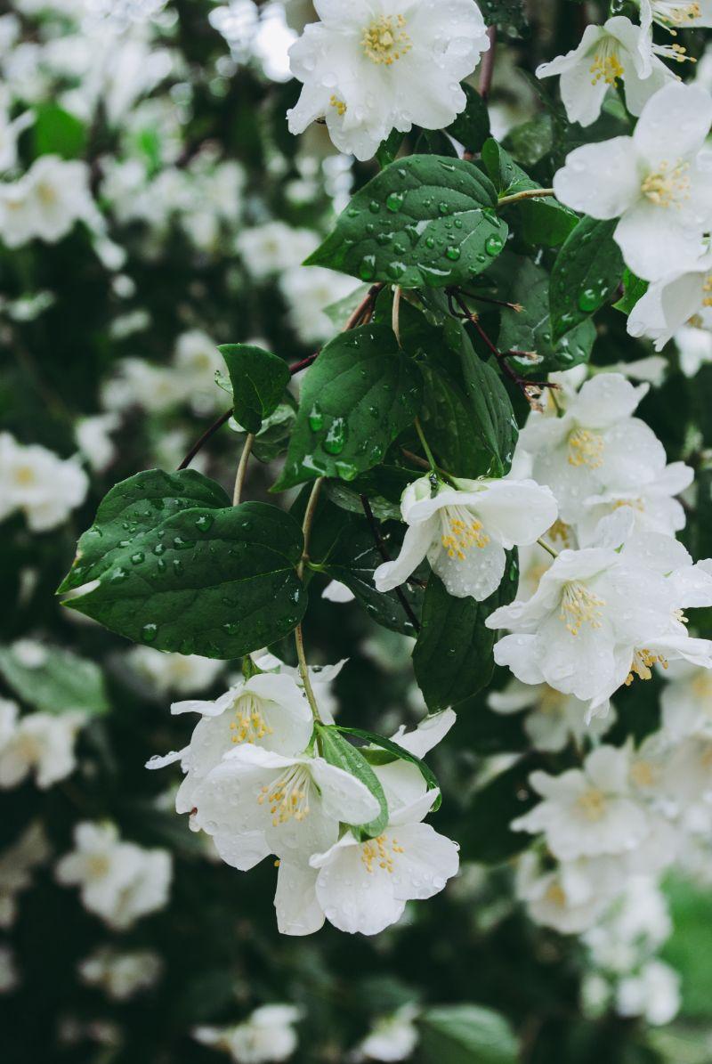 rain drops on jasmine flower leaves