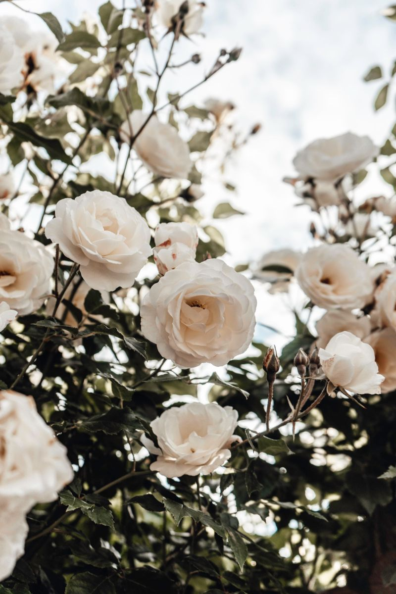 roses low maintenance outdoor plants in white