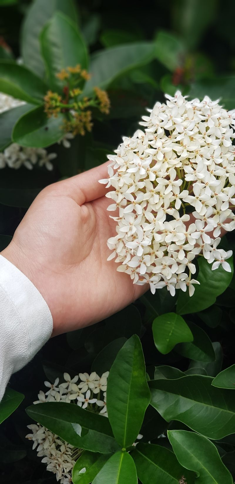 small jasmine flower plant with small blooms