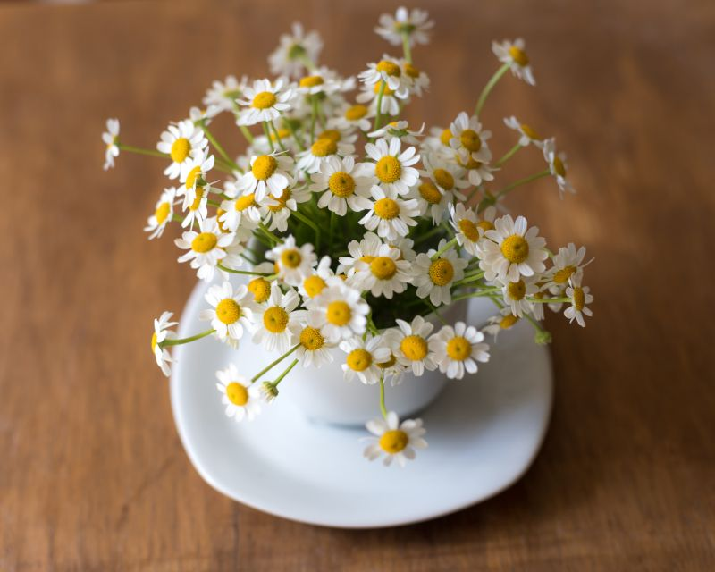 types of houseplants daisies in small pot
