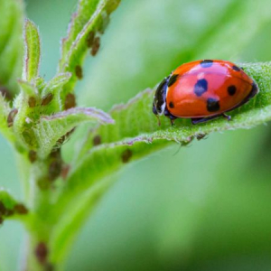 How to get rid of aphids - save your plants with a few homemade remedies