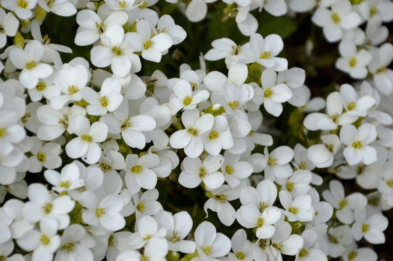 alysse flower perennial flowers white blooms