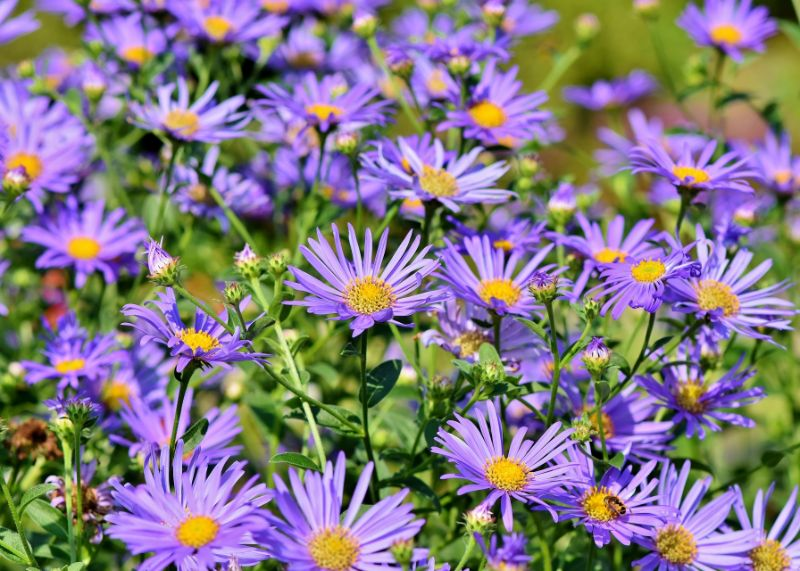 aster flowers in purple perennial flowers