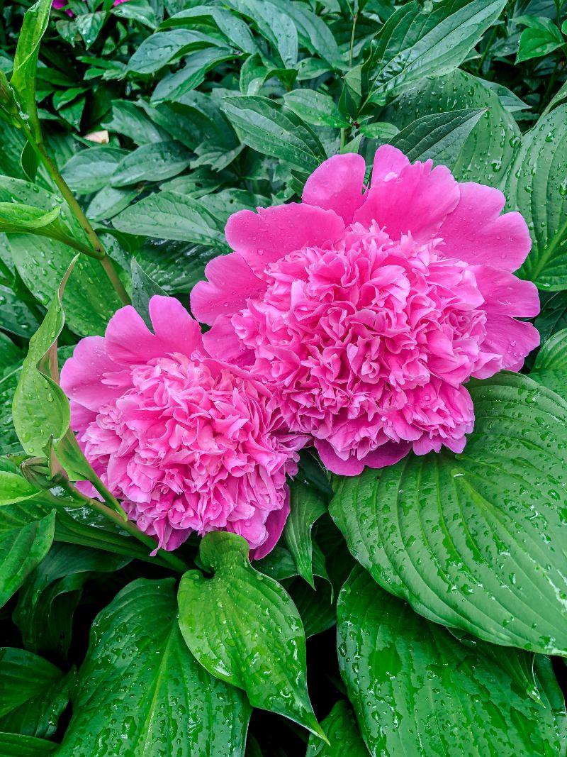 blooming peonies in pink types of peonies
