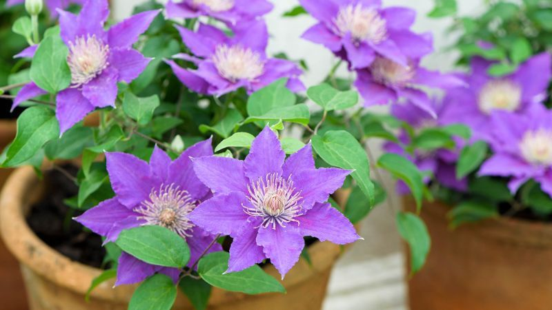 clematis perennial plants in ceramic pots