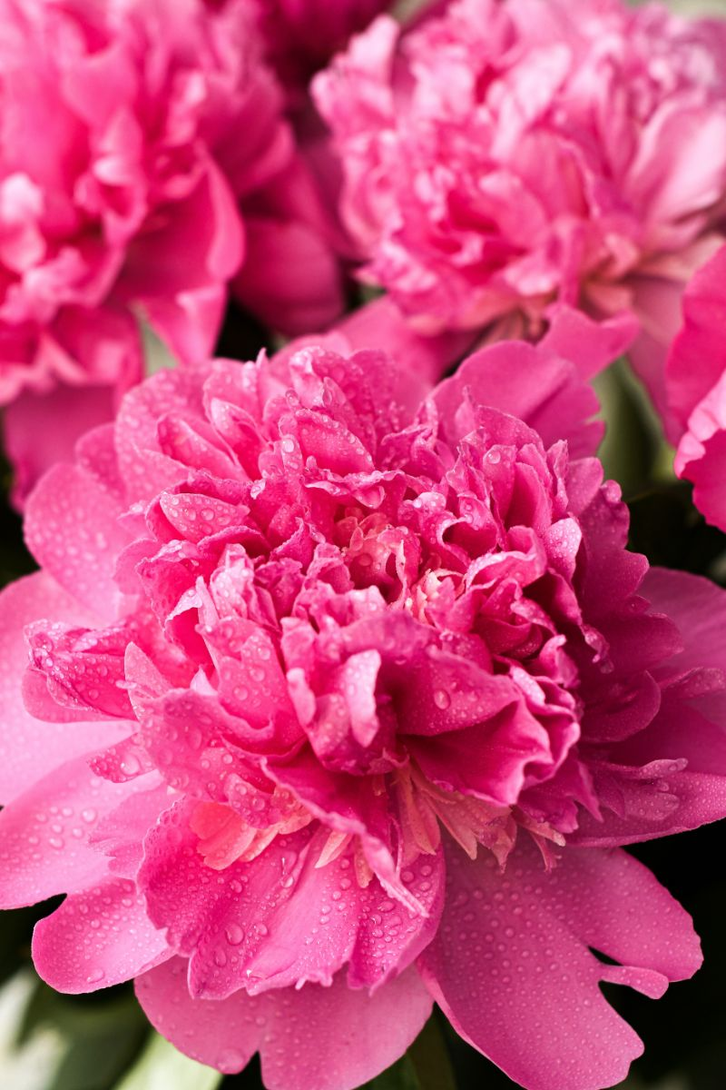 close up photo of pink peonies care
