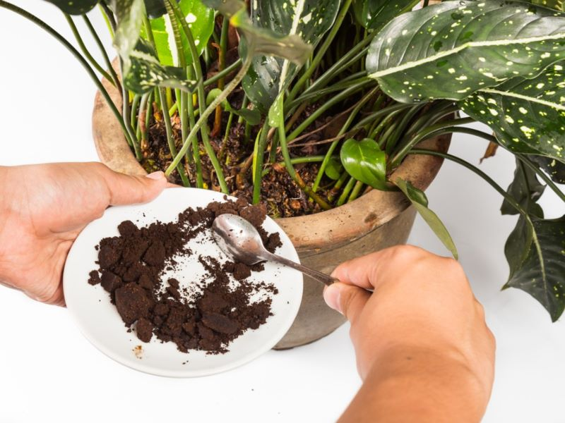 coffee grounds as fertilizer poured into pot