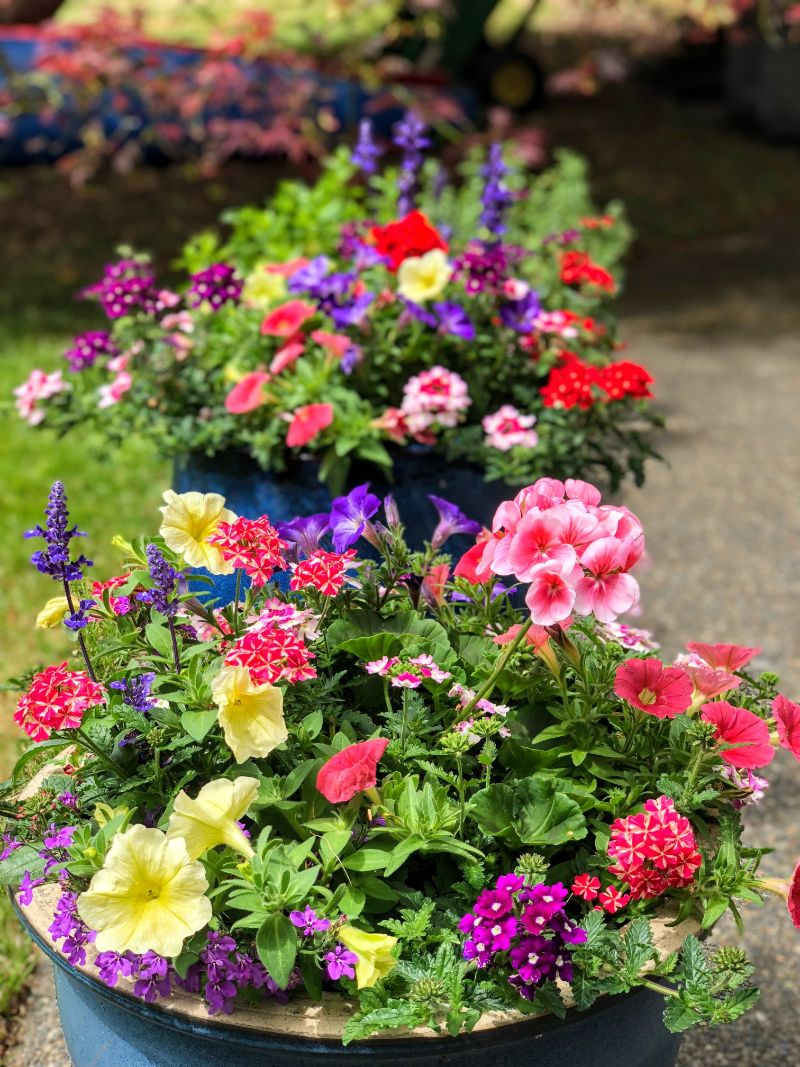 colorful perennial flowers in pots outside