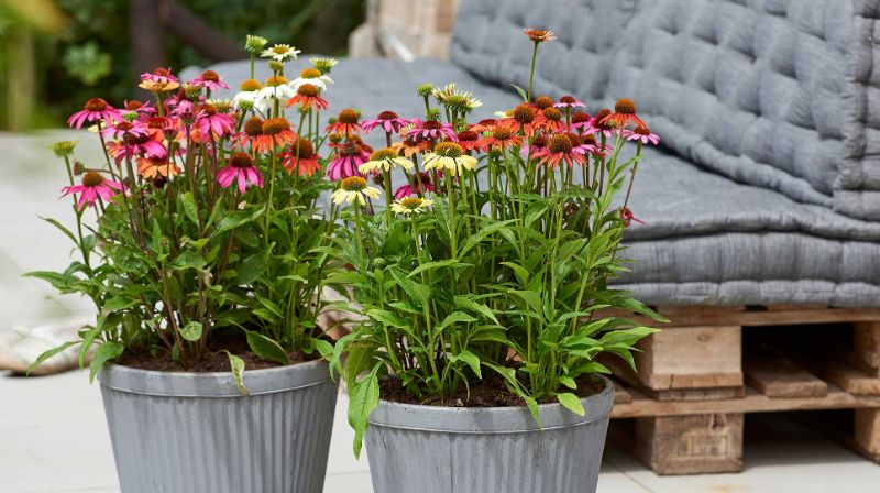 echinacea with red blooms perennial plants pots