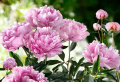 The beauty of the peony flower and how to care for it
