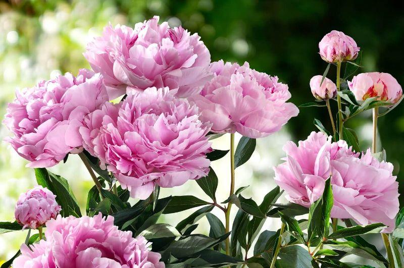 growing peonies photo of pink bush