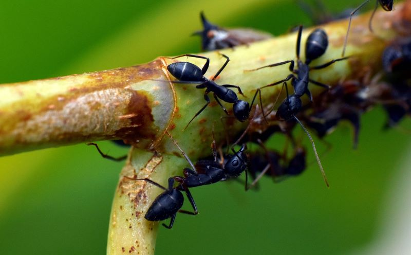 how to get rid of ants on plant branch