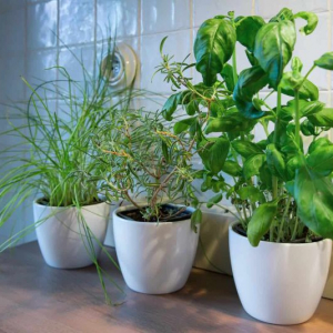 Growing herbs indoors - how to care for them and mistakes to avoid