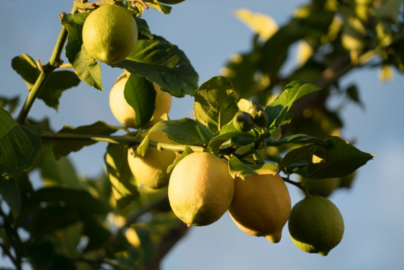 lemon tree lemon water in the morning blue sky