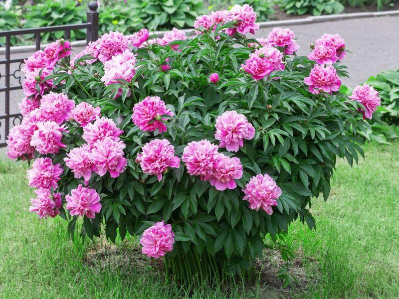 peony bush planted in garden peonies care