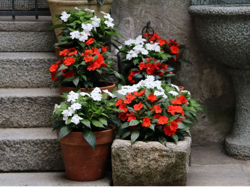 perennial flowers for shade in red white in pots