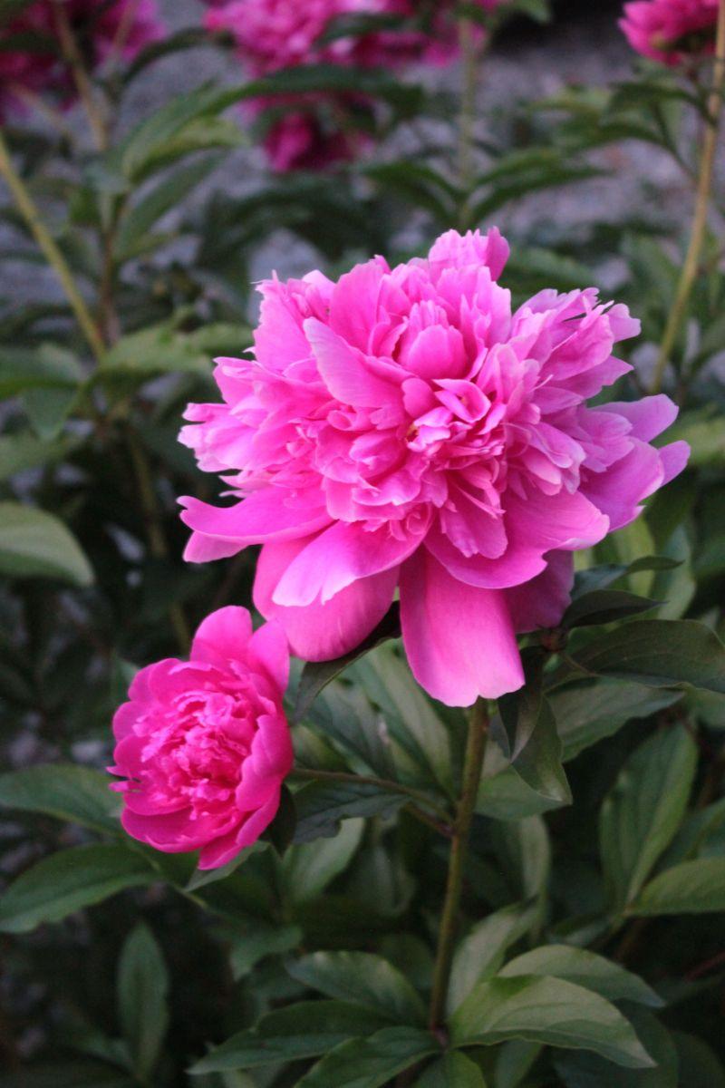 pink peony flower close up photo