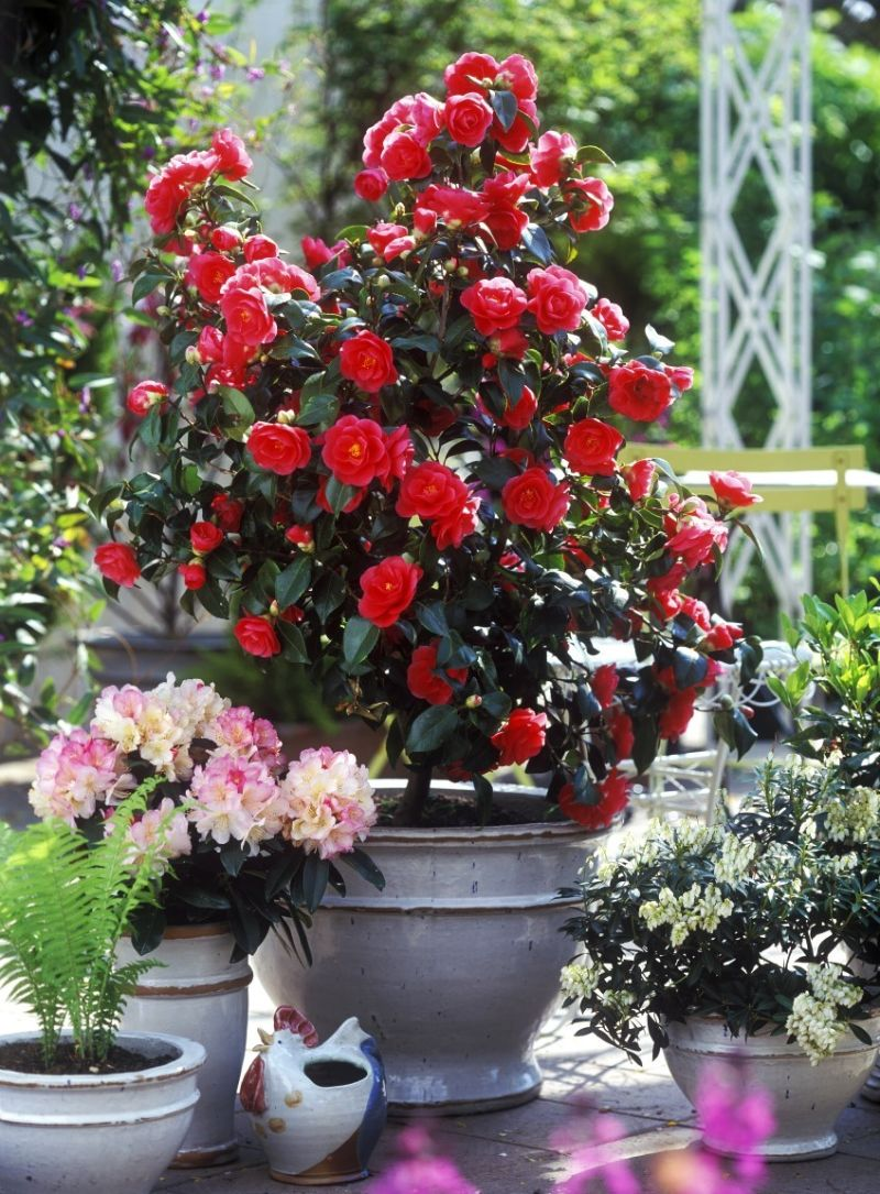 potted camellia flower in red what does perennial mean